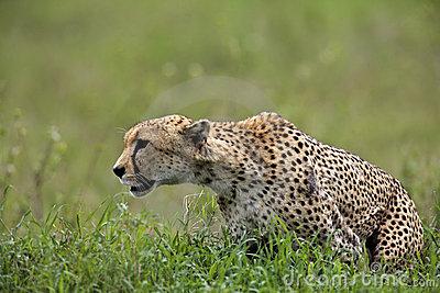 Cheetah is going to hunt