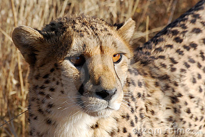 Cheetah head detail, looking in the camera