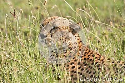 Cheetah Hiding in Tall Grass in Tanzania