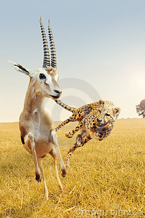 Free Cheetah Hunting Gazelle On Africa S Savanna Stock Image - 20913001