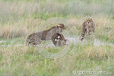 Cheetah hunting and killing