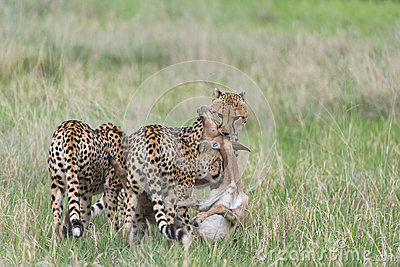 Cheetah hunting and killing