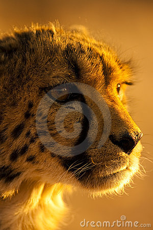 Free Cheetah In Namibia Africa Stock Images - 11801534