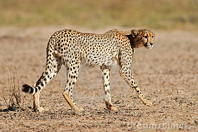 Cheetah, Kalahari desert, South Africa