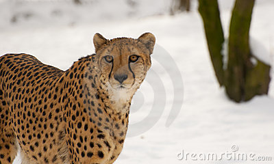 Cheetah looking straight at you!