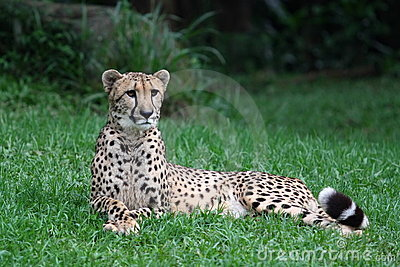 Cheetah lying on the grass