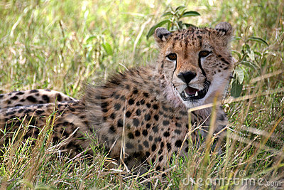 Cheetah lying in the grass