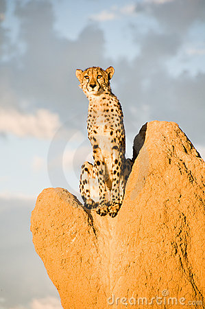Free Cheetah On Termite Mound Stock Photo - 7759780