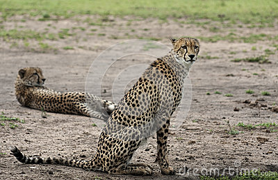 Cheetah pair at rest