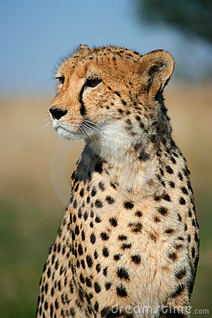 Cheetah portrait