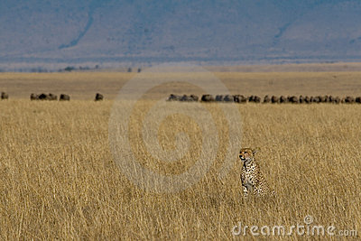 Cheetah and Prey