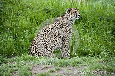 Cheetah On The Prowl Royalty Free Stock Photo - Image: 24778835