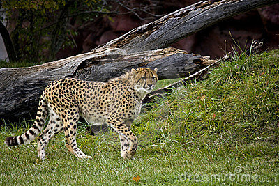 Cheetah ready to run