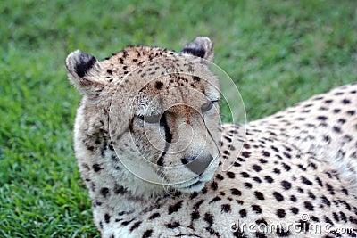 Cheetah Resting
