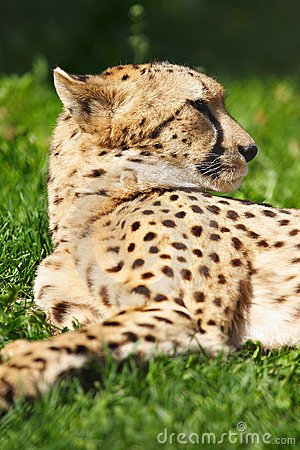 Cheetah resting on the grass