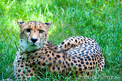 Cheetah resting in grass, lying, looking