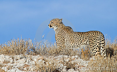 Cheetah on a ridge in the Kalahari