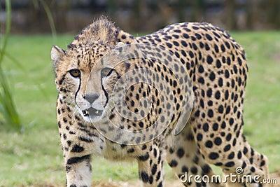 In the Cheetah s eyes