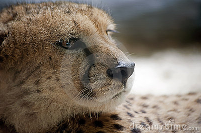 A Cheetah s  Gaze