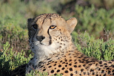 Cheetah in Sanbona Wildlife Reserve