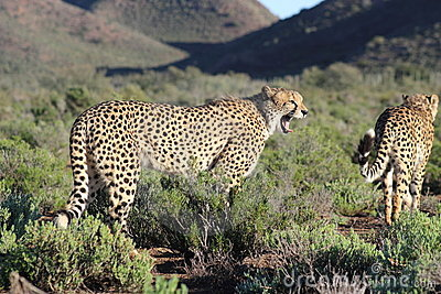 Cheetah in Sanbona Wildlife Reserve