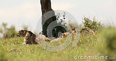 Cheetah Sat Sur L'Herbe Masai Mara Kenya Afrique banque de vidéos