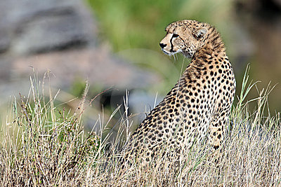 Cheetah sit on the grass and looks afield
