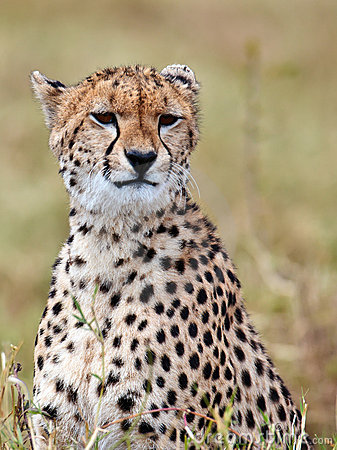 Cheetah sits on the grass and looks afield