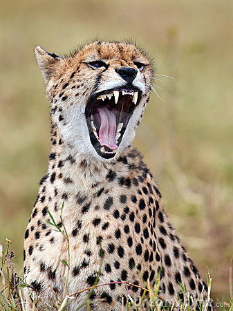 Cheetah sits in the grass and yawns