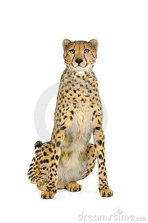 Cheetah sitting;