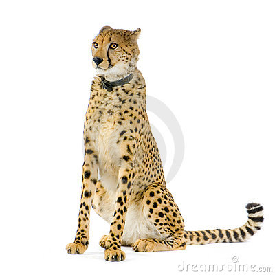 Cheetah sitting;