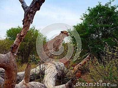 Cheetah sitting on tree