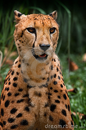 Cheetah sitting up