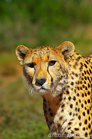 Cheetah In South Africa Stock Image - Image: 6491371