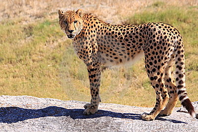 Cheetah standing on a rock