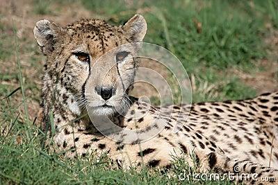 Cheetah Staring