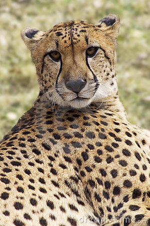 Cheetah Staring At The Camera
