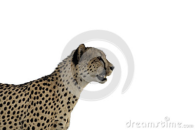 Cheetah Staring Isolation