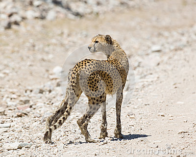 Cheetah Staring In Ngorogoro