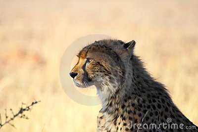 Cheetah staring at prey