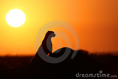 Cheetah at sunset
