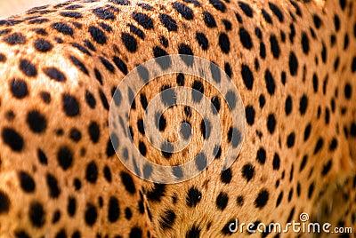 Cheetah texture