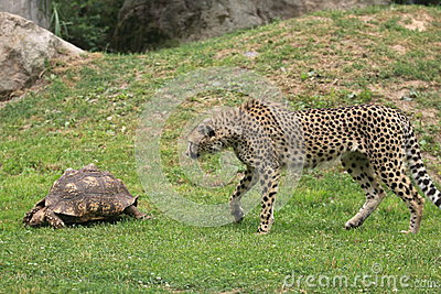 Cheetah and turtle
