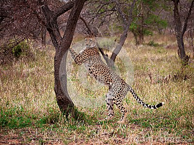 Cheetah up against tree