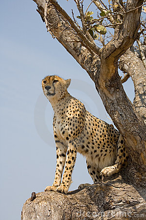 Cheetah up a tree in Africa