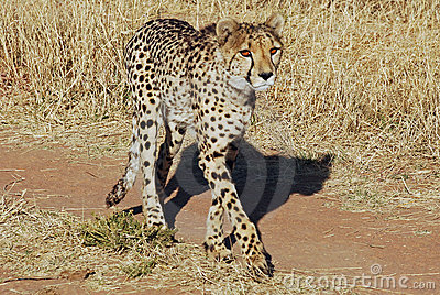 Cheetah walking across the road , Acinonyx juba