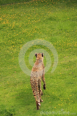 Cheetah walking in green grass.