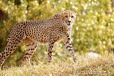 Cheetah walking in nature