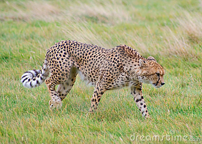 Cheetah walks