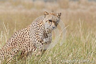 Cheetah watchful in grassland